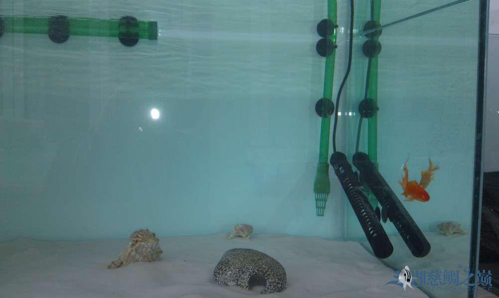 三湖慈鲷小试身手换水篇 西安观赏鱼信息 西安博特第9张