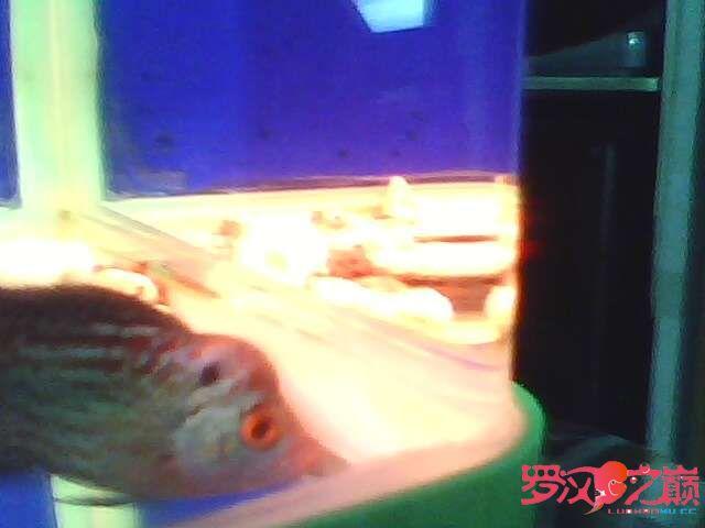 再次更新金花小罗 西安观赏鱼信息 西安博特第1张