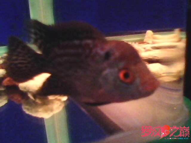再次更新金花小罗 西安观赏鱼信息 西安博特第2张