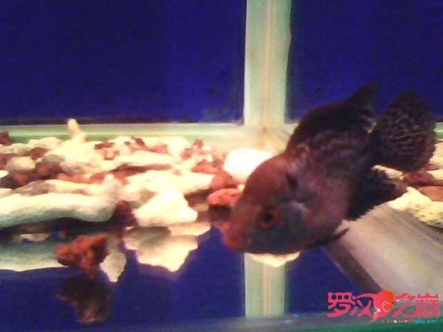 再次更新金花小罗 西安观赏鱼信息 西安博特第3张