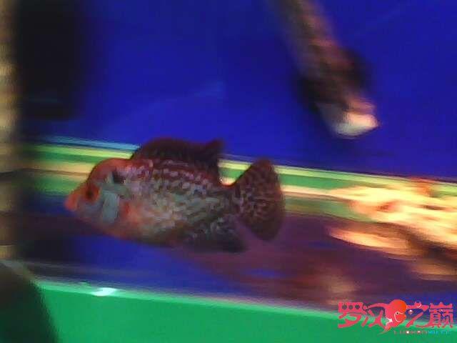 再次更新金花小罗 西安观赏鱼信息 西安博特第5张