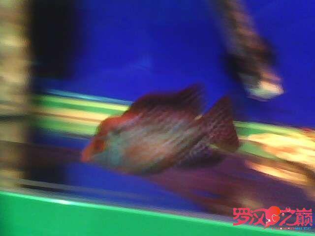 再次更新金花小罗 西安观赏鱼信息 西安博特第6张