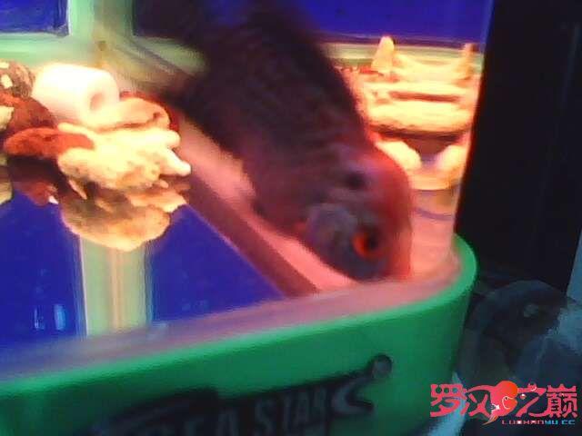 再次更新金花小罗 西安观赏鱼信息 西安博特第7张
