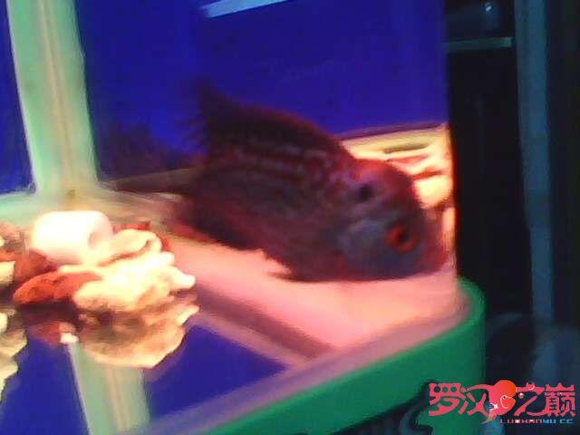 再次更新金花小罗 西安观赏鱼信息 西安博特第9张