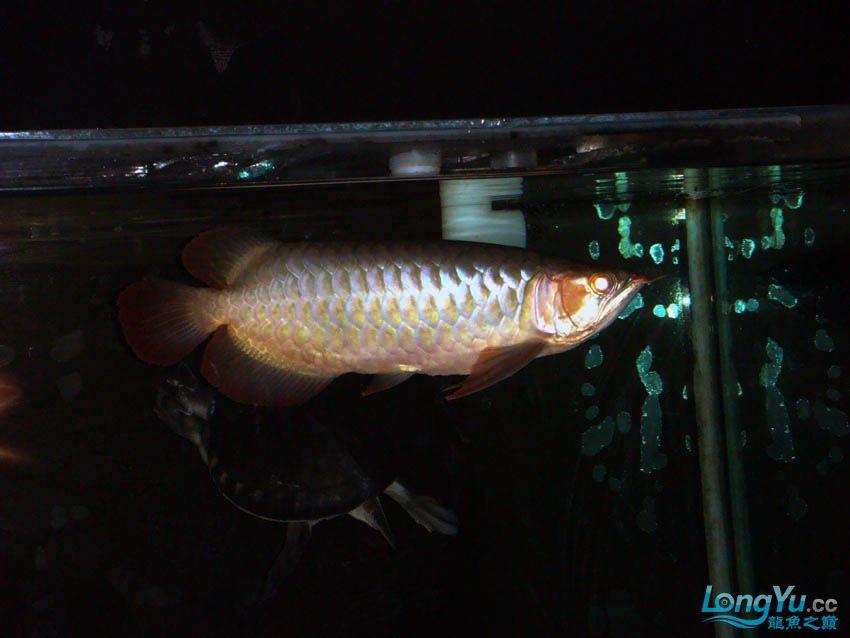 【西安花鸟鱼虫市场】皇室的小红龙到家半年 纪念一下 西安观赏鱼信息 西安博特第2张