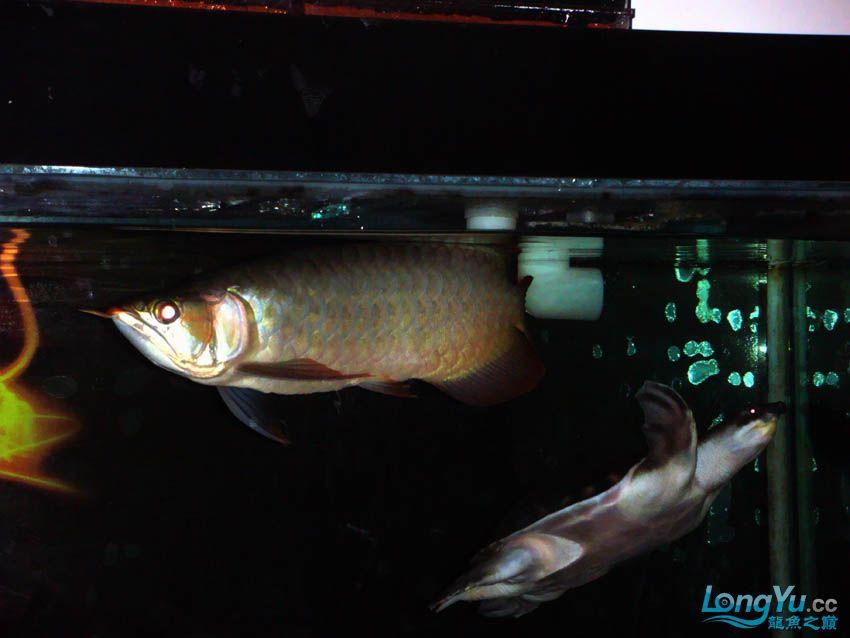 【西安花鸟鱼虫市场】皇室的小红龙到家半年 纪念一下 西安观赏鱼信息 西安博特第4张
