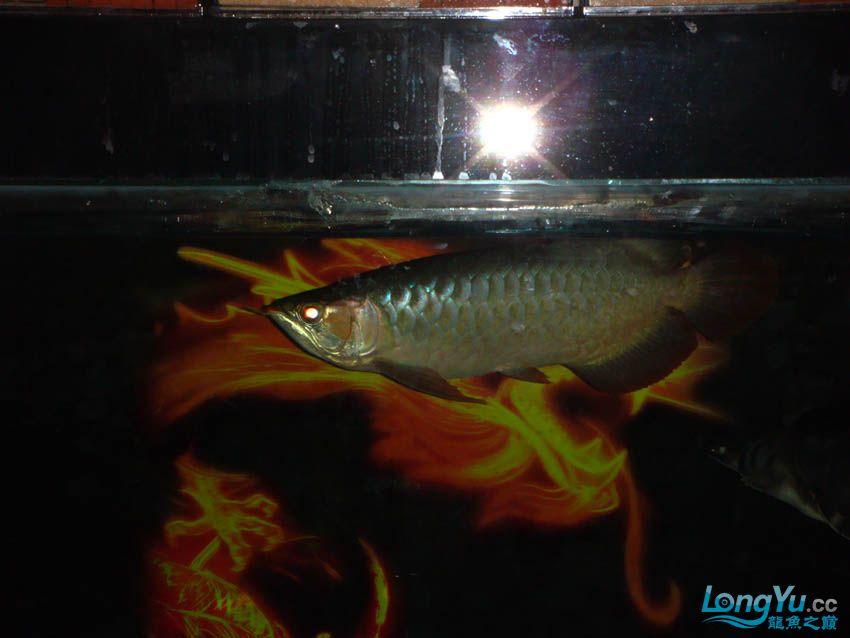 【西安花鸟鱼虫市场】皇室的小红龙到家半年 纪念一下 西安观赏鱼信息 西安博特第5张