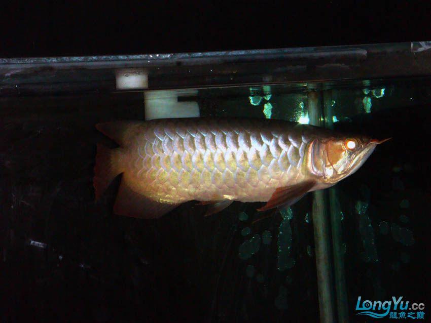 【西安花鸟鱼虫市场】皇室的小红龙到家半年 纪念一下 西安观赏鱼信息 西安博特第7张
