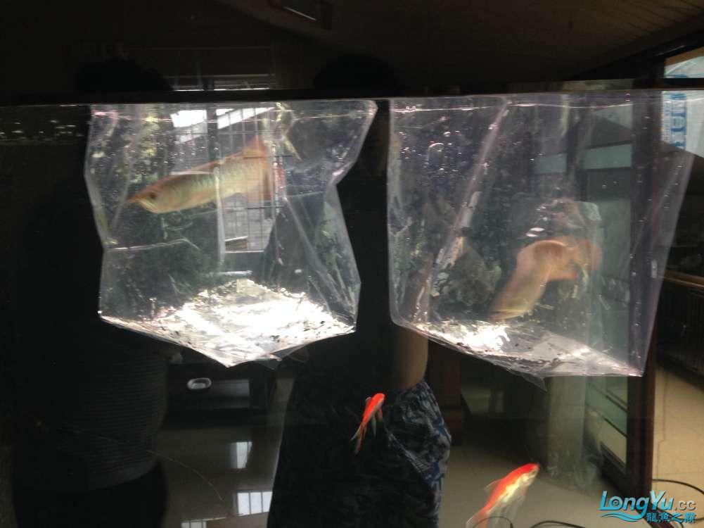 595555混养第一天 西安观赏鱼信息 西安博特第3张