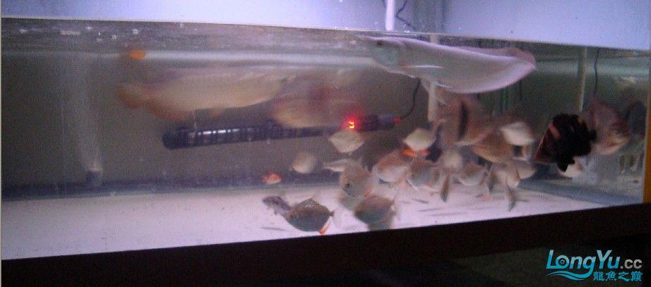 我喜欢的混养还带有一小缸马尾斗鱼的小别野哦 西安龙鱼论坛 西安博特第1张