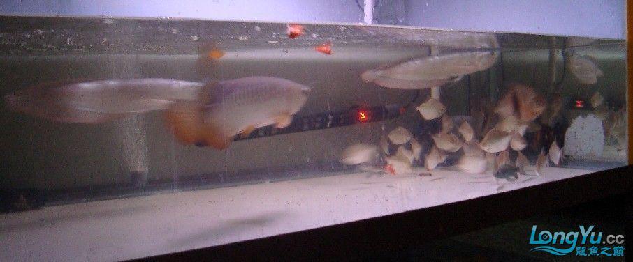 我喜欢的混养还带有一小缸马尾斗鱼的小别野哦 西安龙鱼论坛 西安博特第2张