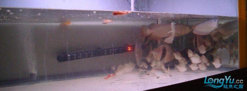 我喜欢的混养还带有一小缸马尾斗鱼的小别野哦 西安龙鱼论坛 西安博特第3张