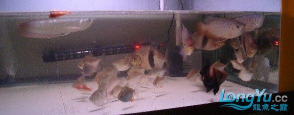 我喜欢的混养还带有一小缸马尾斗鱼的小别野哦 西安龙鱼论坛 西安博特第6张