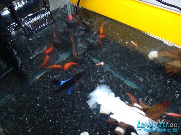 我喜欢的混养还带有一小缸马尾斗鱼的小别野哦 西安龙鱼论坛 西安博特第9张