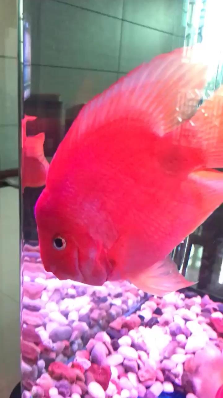 鱼颜色变淡了罗汉鱼