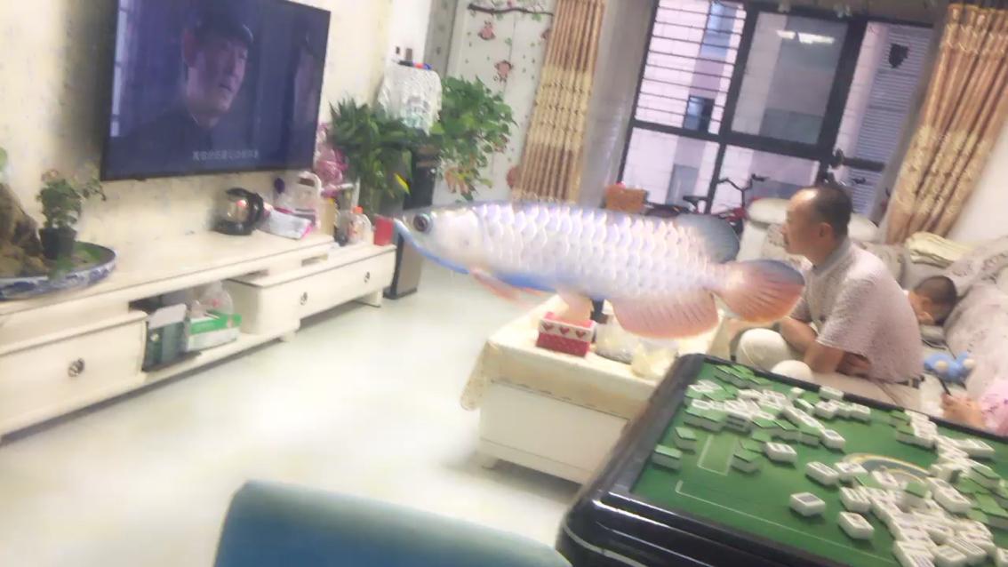 干净卫生龙鱼 西安龙鱼论坛