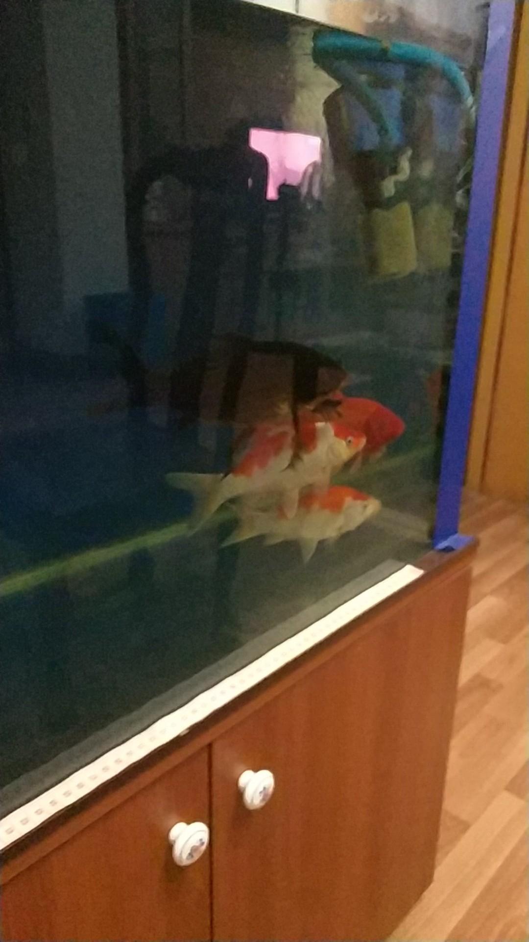 【西安白子魟鱼】灯一直开着吗锦鲤 西安观赏鱼信息 西安博特第2张