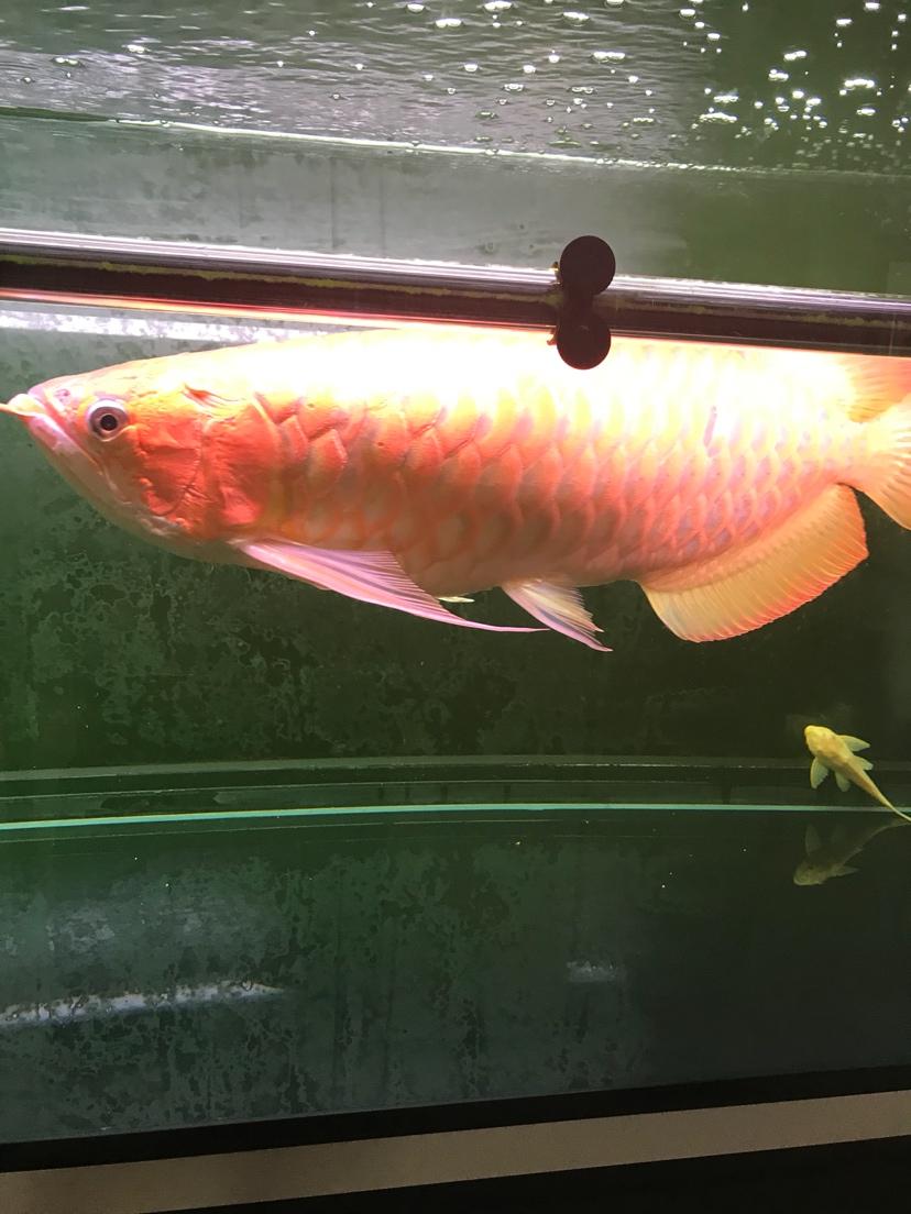 女神➕鱼【西安二手鱼缸转让】龙鱼 西安观赏鱼信息 西安博特第2张