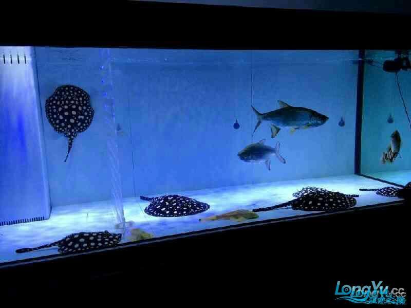 【西安祥龙水族】求解中层的两尾鱼是什么品种 西安龙鱼论坛