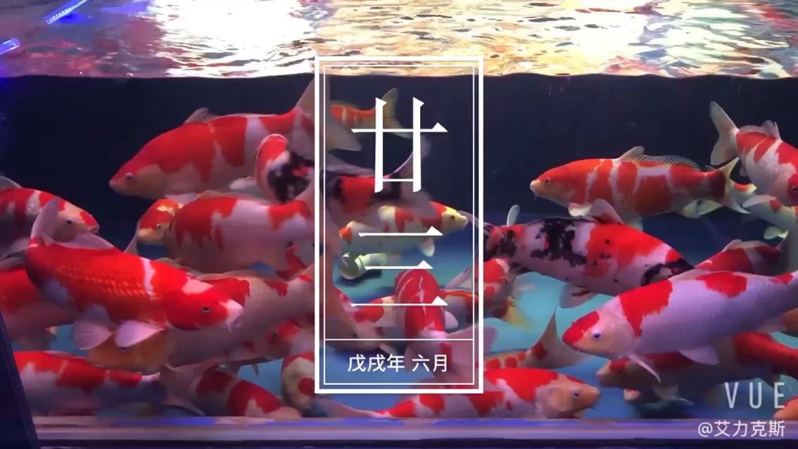 錦鯉之美虎鱼 西安观赏鱼信息