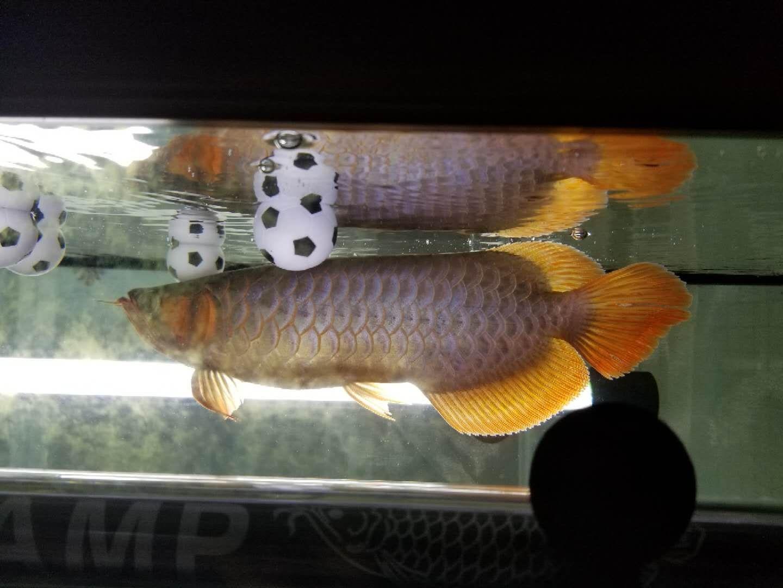 分享下鱼缸里其中两条龙鱼