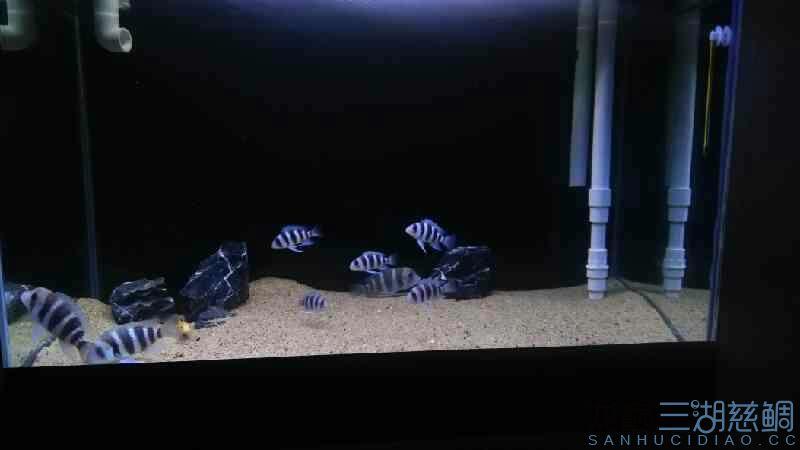 【西安帝王魟鱼】2cm小虎10+小布能放一起吗 西安观赏鱼信息 西安博特第2张