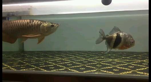 大家早上好龙鱼 西安龙鱼论坛