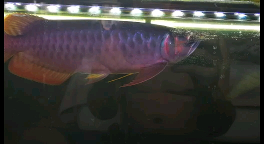 到家三个月多了记录下 西安观赏鱼信息