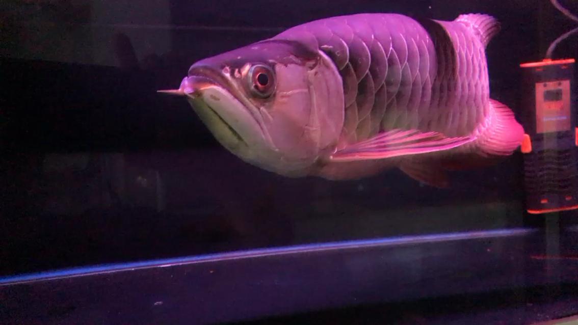 重金属大站车50加厘米【西安黄金巴西亚鱼】