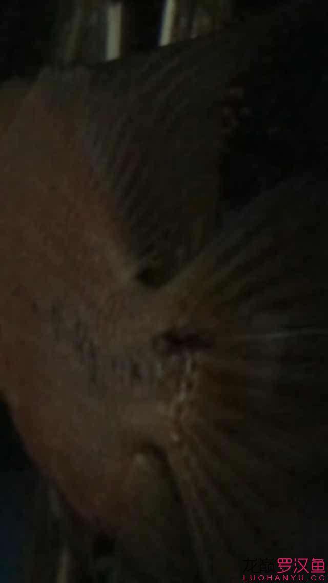 尾巴根部的黑洞【西安印尼小红龙】 西安观赏鱼信息
