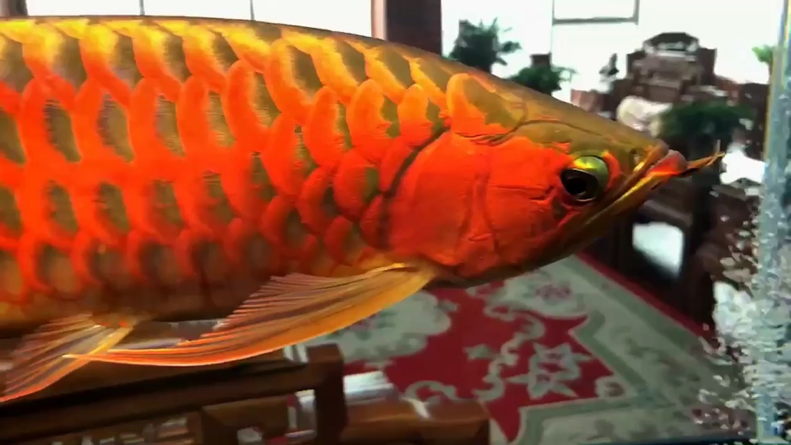 【西安水族馆地址】龙鱼的美来自于鳞片 西安观赏鱼信息
