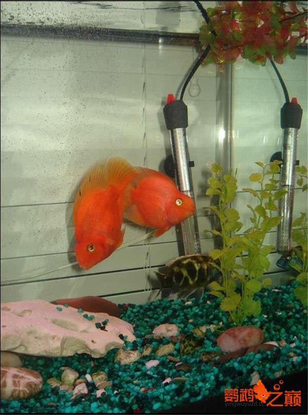 给大家看看我的鱼儿 西安龙鱼论坛