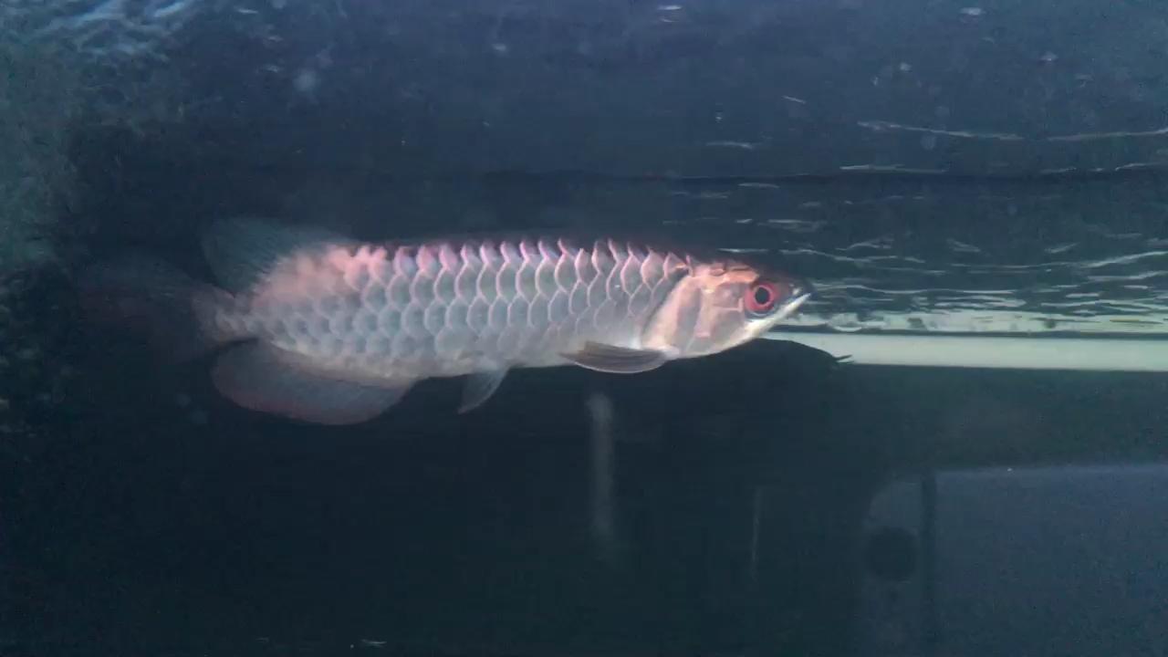 【西安印尼红龙鱼】细框靛蓝底过背 西安龙鱼论坛