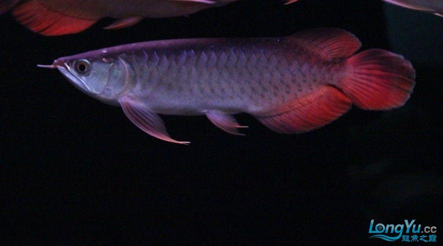 【西安最大水族批发市场】已售小龙鱼友俱乐部 特价超血红 大鳍大尾 3800 24