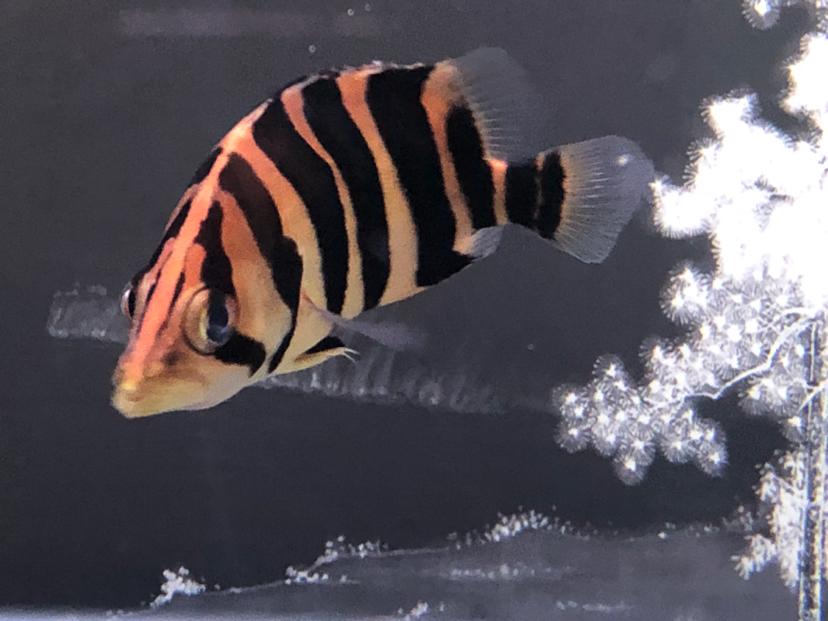 虎鱼白点虎鱼 西安观赏鱼信息 西安博特第2张