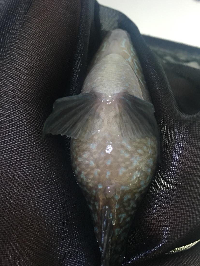 能看出公母吗罗汉鱼 西安观赏鱼信息 西安博特第2张