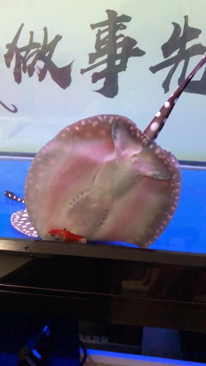 魟鱼吃食北京鱼友圈 西安观赏鱼信息