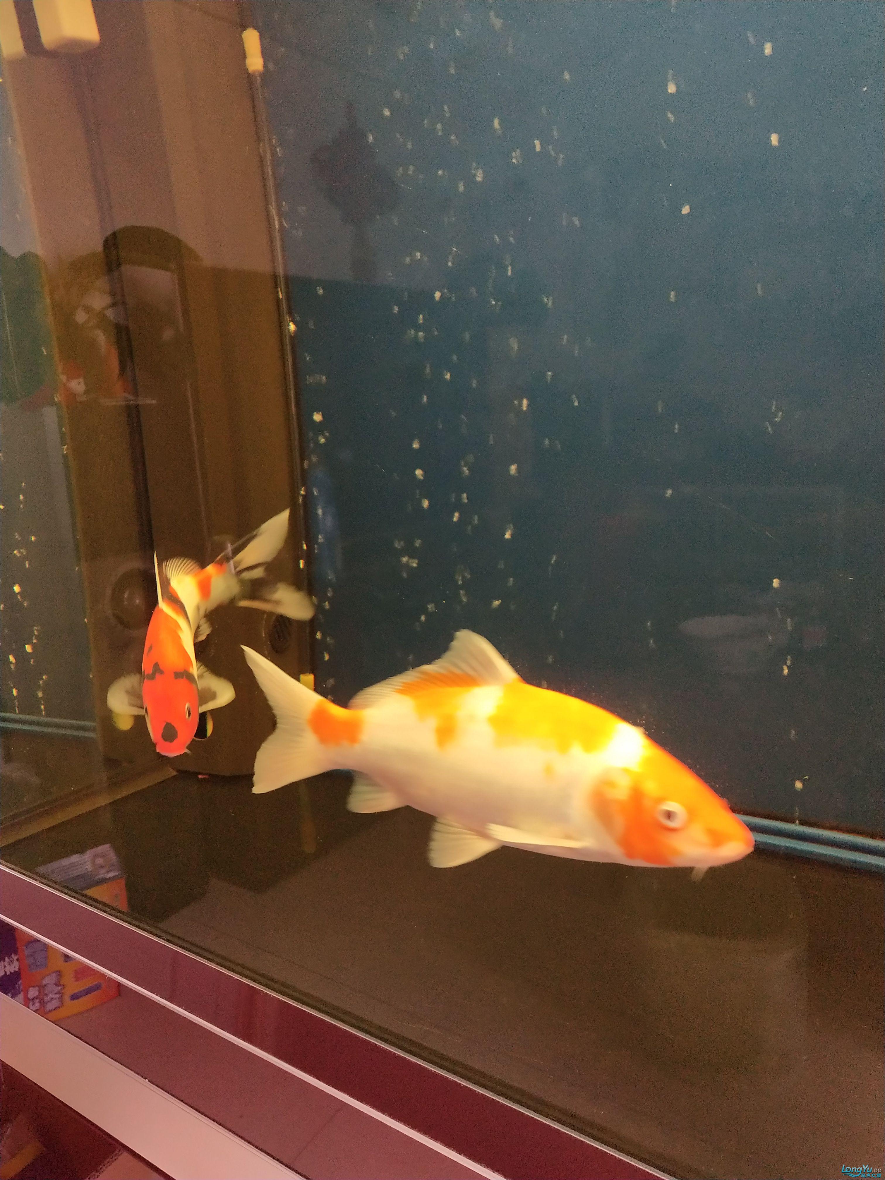 治疗第三天这个也晒晒 西安观赏鱼信息 西安博特第2张