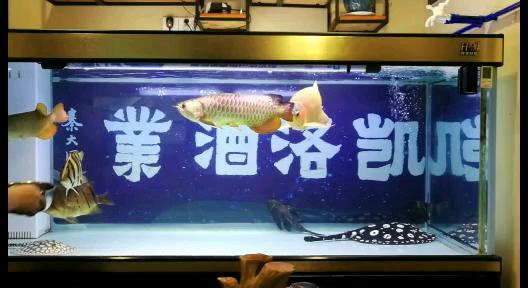 趁中场休息抓紧给爱鱼喂食 西安龙鱼论坛
