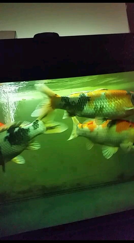 换缸迫在眼捷了 西安观赏鱼信息