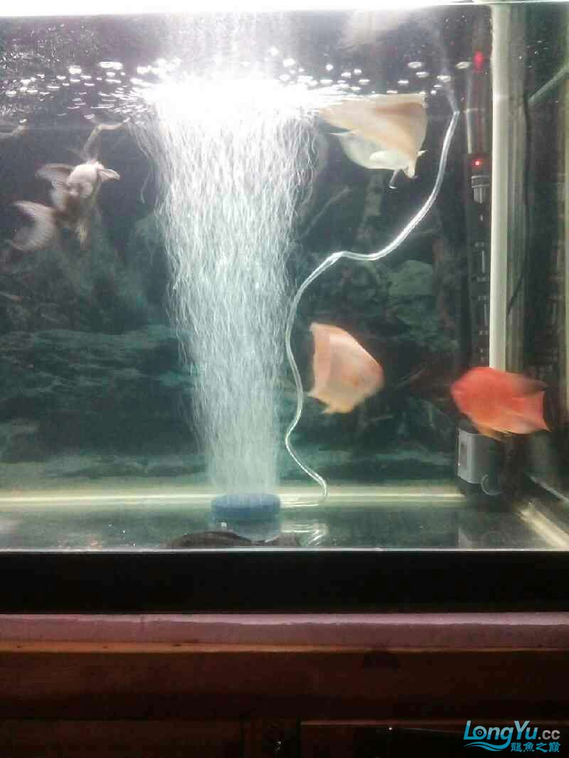 【西安伊巴卡鱼】新手初到想请教大神们关于混养的 西安龙鱼论坛 西安博特第2张
