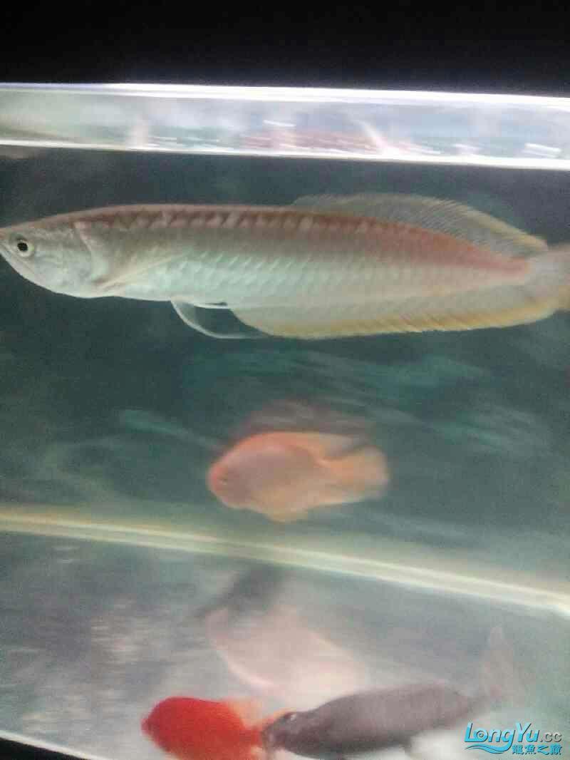 【西安伊巴卡鱼】新手初到想请教大神们关于混养的 西安龙鱼论坛 西安博特第4张