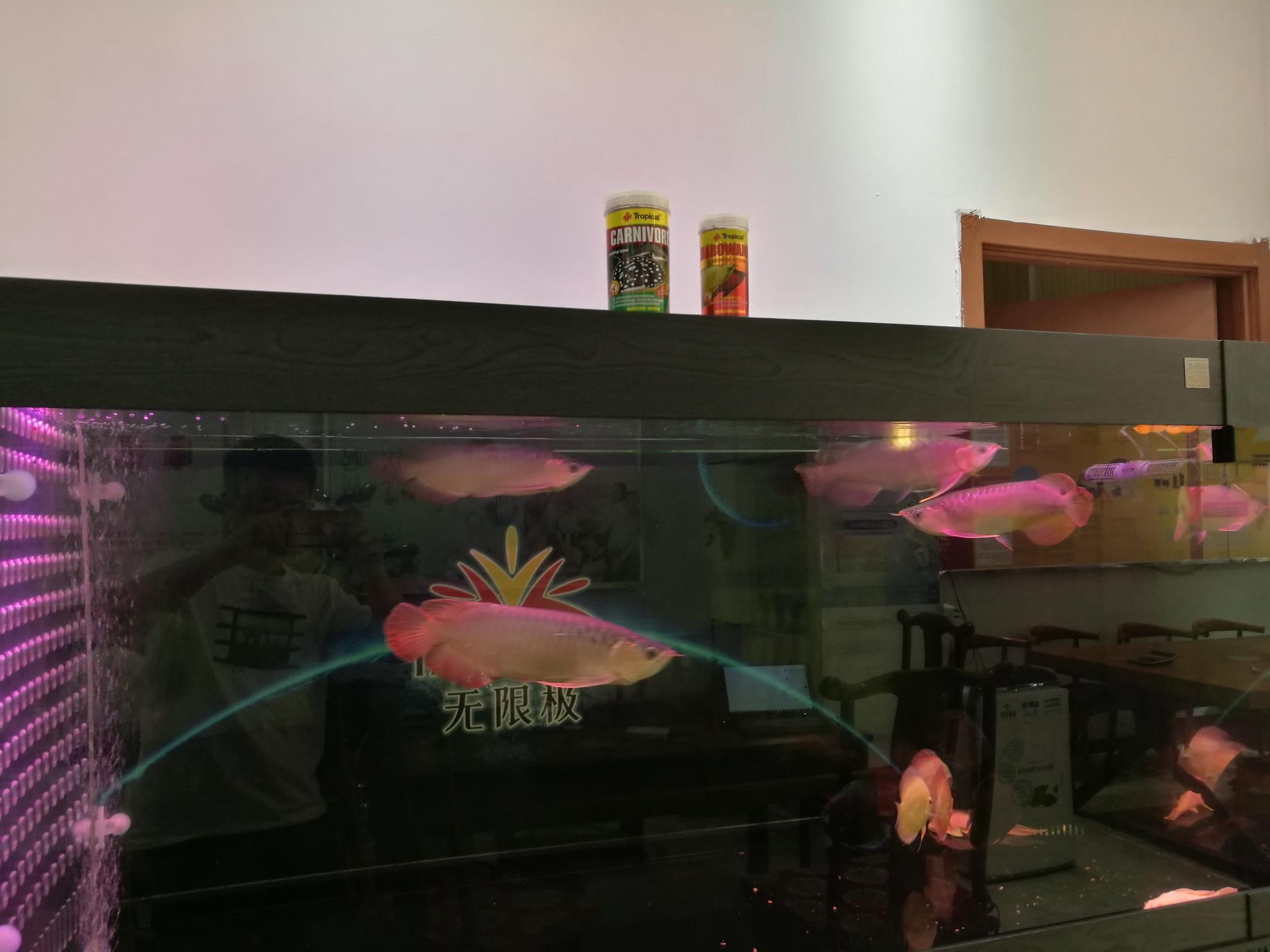 【西安哪家有黑白皇冠魟鱼】试用饲料回馈龙鱼