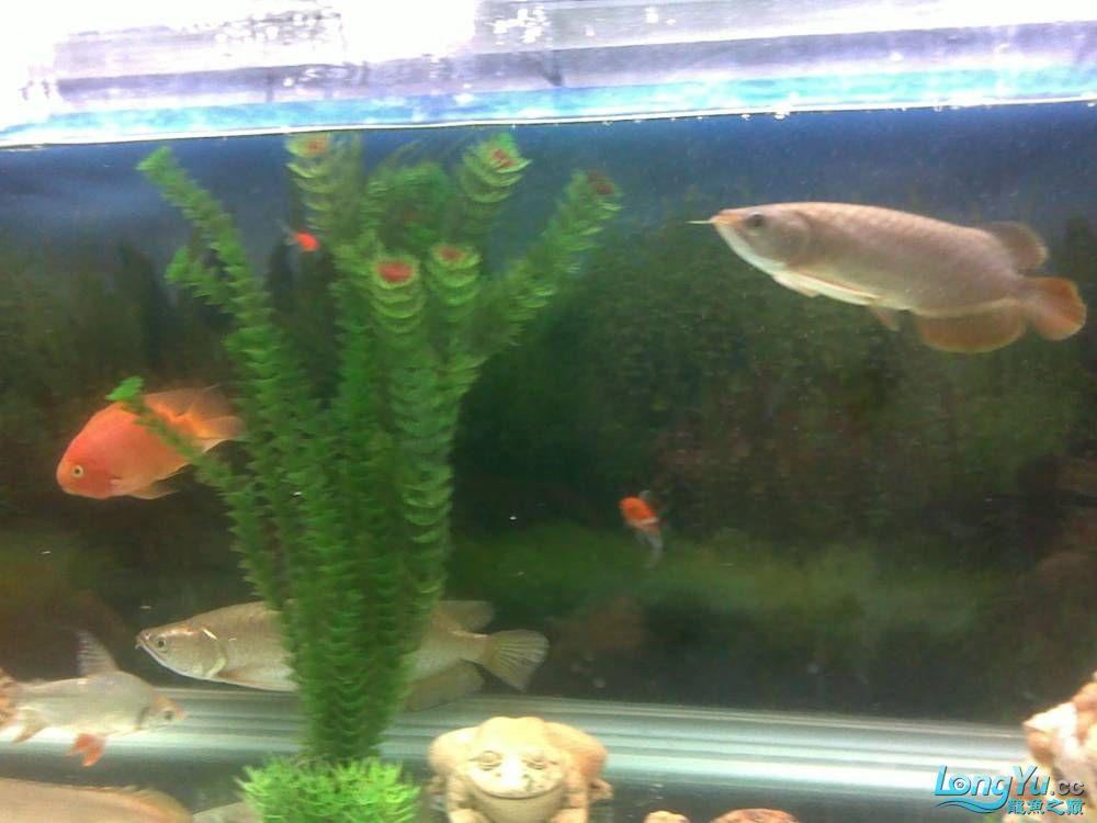 小学混养珍珠号半 西安观赏鱼信息 西安博特第2张