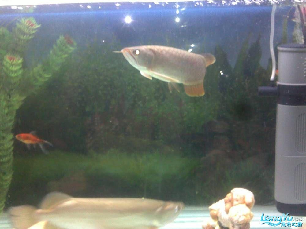 小学混养珍珠号半 西安观赏鱼信息 西安博特第1张