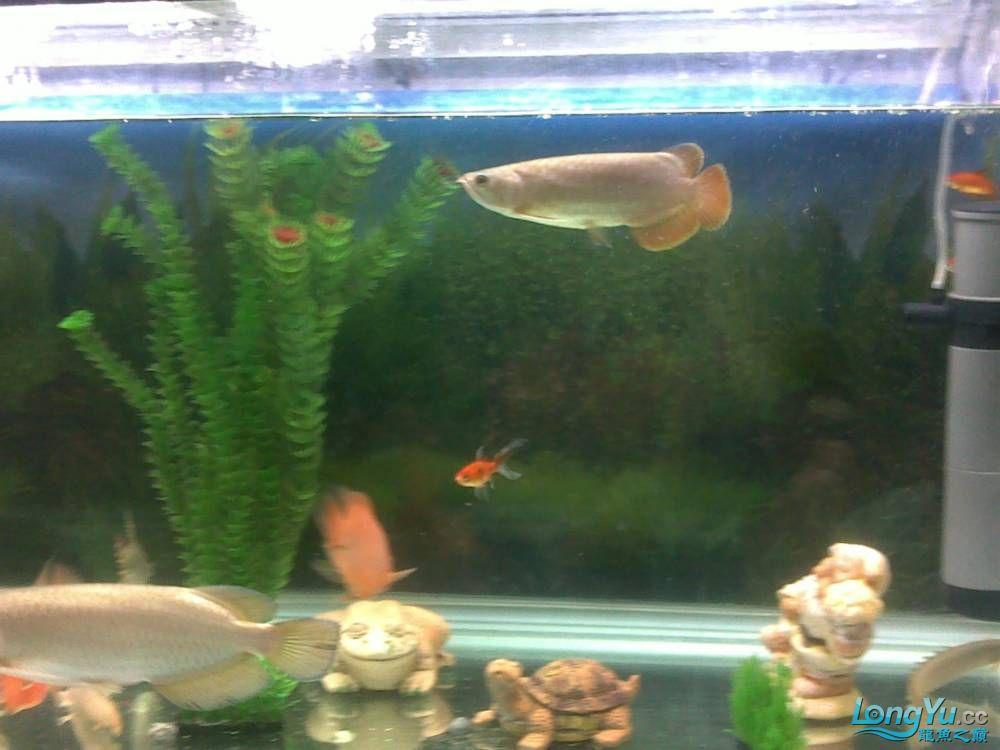 小学混养珍珠号半 西安观赏鱼信息 西安博特第3张