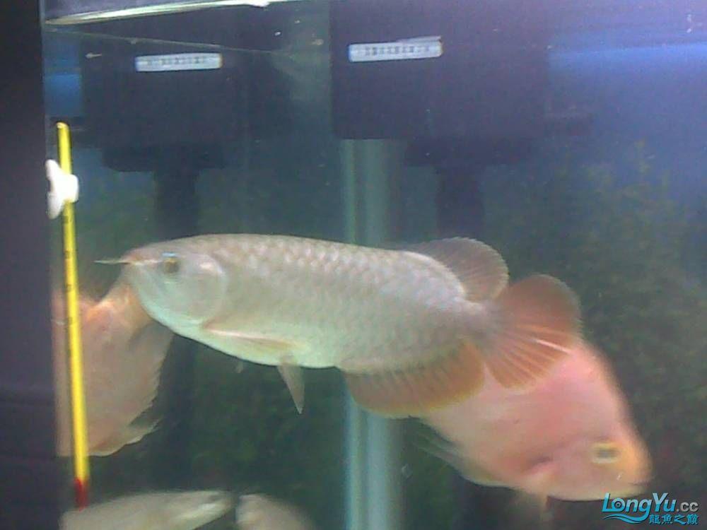 小学混养珍珠号半 西安观赏鱼信息 西安博特第6张
