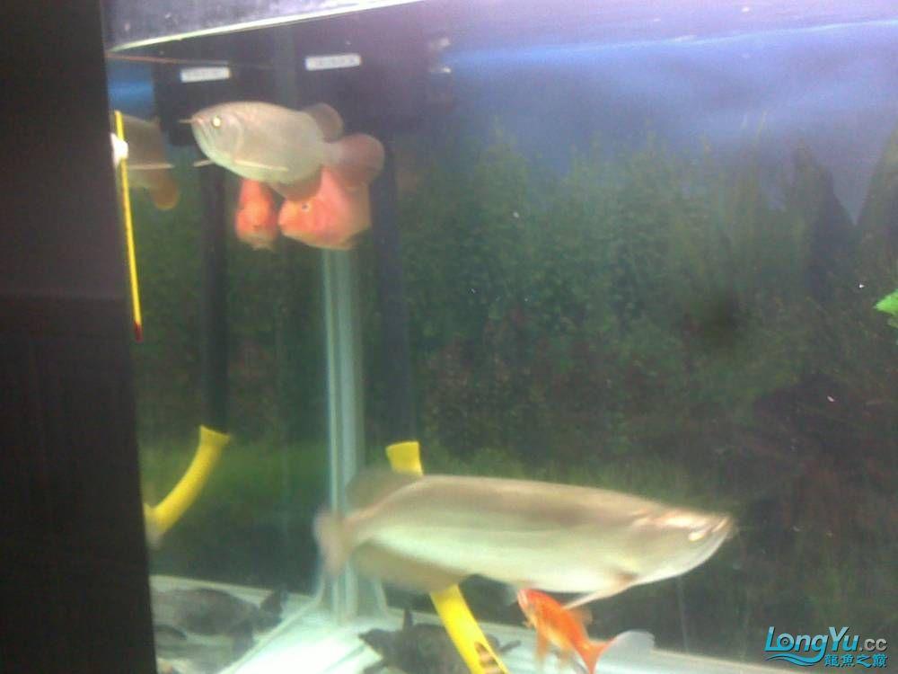 小学混养珍珠号半 西安观赏鱼信息 西安博特第10张