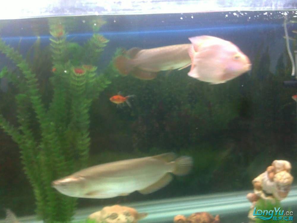 小学混养珍珠号半 西安观赏鱼信息 西安博特第19张