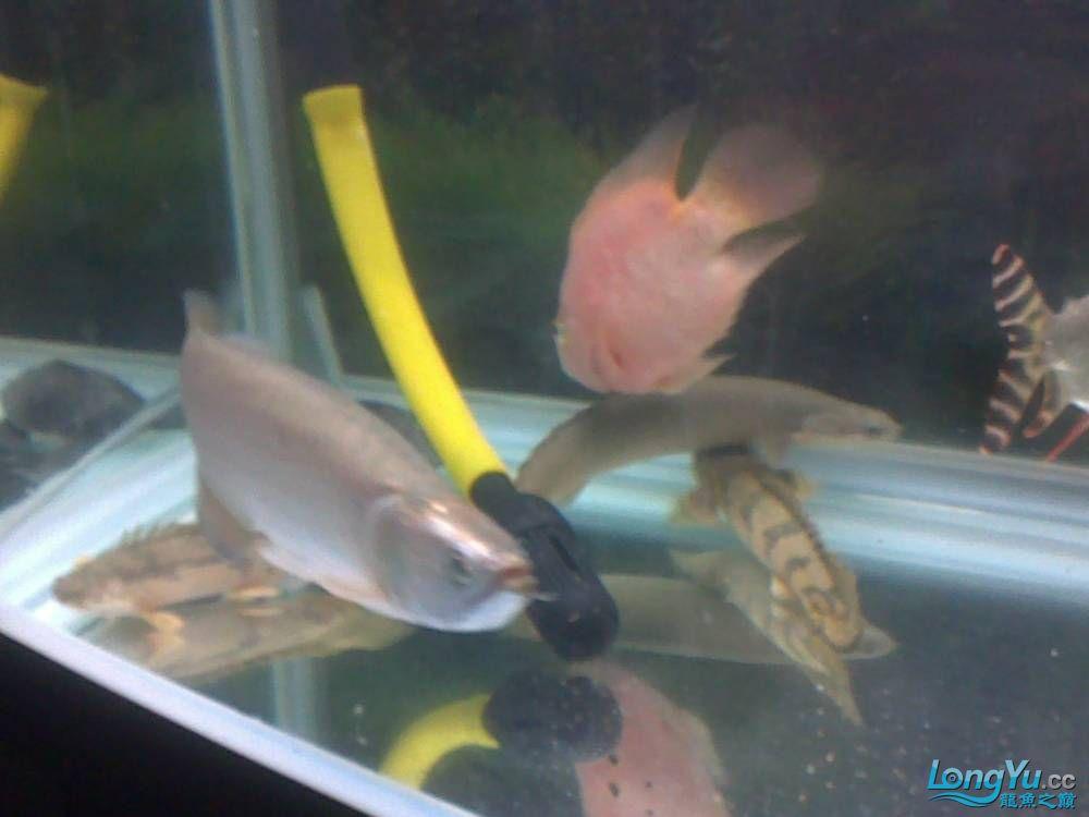 小学混养珍珠号半 西安观赏鱼信息 西安博特第24张